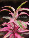 cordyline%20red%20edge.jpg