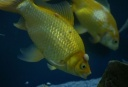 2011-04-11_214610_Fish_with_Lumps-300x202.jpg