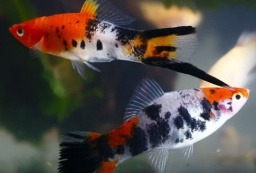 Koi%20calico%20swordtail.jpg