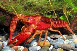 Procambarus%20clarkii%20(red%20lobster).jpg