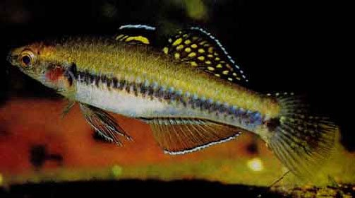 minnow%20gudgeon.jpg
